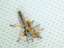 Two flies eating each other. Two flies with big eyes eating each other on sink metal floor stock photos