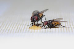 Two flies feeding Stock Photography