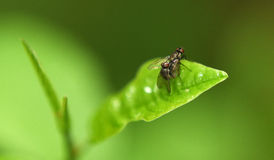 Two flies on green leaf Royalty Free Stock Image