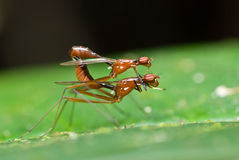 Two flies mating Royalty Free Stock Photography