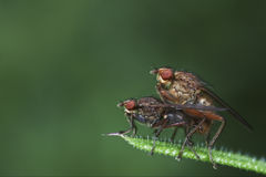 Two Flies Mating Macro Stock Photos