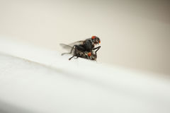 Mating Flies Stock Images