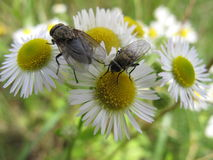 Two flies sitting on camomile flower. Detailed wings of fly and white and yellow flower royalty free stock photos