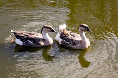 Two floating ducks. Two ducks floating one after another on wate Royalty Free Stock Photos