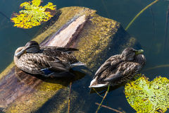 Two floating ducks. Royalty Free Stock Images