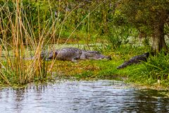 Alligator Napping with a Full Stomach. Two Florida alligators sunning on an island in a wetland with one`s stomach bulging with a recent meal stock photo