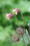 Two flourishing and two faded avens root flowers Stock Photography