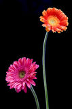 Two flower on black. Two pretty flowers stand against a black background Stock Images