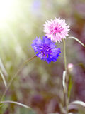 Two flower cornflower backlit Royalty Free Stock Photo
