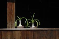 Two flower pots of Ornithogalum Caudatum Royalty Free Stock Photos