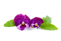 Two flower viola Royalty Free Stock Photography