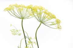 Two Flowering Dill Stock Image