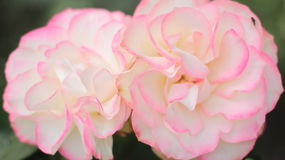 Two flowering pink roses. Beautiful pink flowers of rose stock image