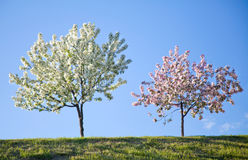 Two flowering trees against the blue sky. Two trees with flowers in springtime Stock Image