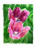 Two flowering tulip. Two blooming tulips in green grass Stock Photos