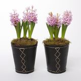 Two flowerpots with hyacinths Stock Photography