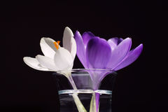 Two flowers. Crocus flowers in vase Stock Image