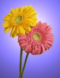 Two Flowers Stock Images