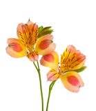 Two flowers of Alstroemeria Royalty Free Stock Image