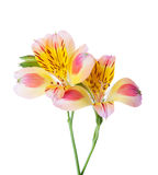 Two flowers of Alstroemeria. Isolated on white background stock photos