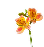 Two flowers of Alstroemeria Stock Image