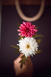 Two flowers as 8 , eight number. Two flowers showing as eight number Royalty Free Stock Photo