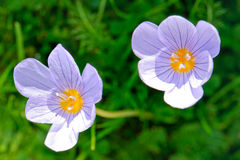 Two flowers of an autumn flowering crocus Royalty Free Stock Photos