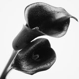Two flowers of black calla. Isolated on white background Royalty Free Stock Photo