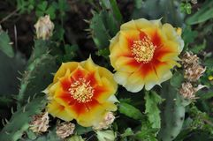 Two Flowers Blooming on a Prickly Pear Cactus Plant. Two colorful flowers blooming on a prickly pear cactus plant stock photos