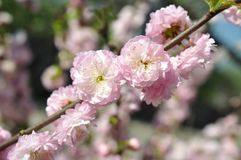 Two flowers cherry Stock Photography