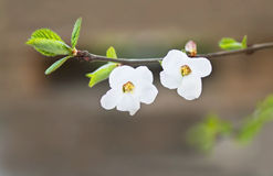 Two flowers on cherry tree branch Stock Photo
