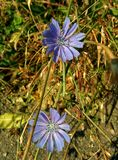 Flowers of chicory. Two Flowers of chicory in dry grass Royalty Free Stock Photo
