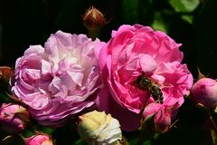 Two flowers of climbing rose Geschwind Nordlandrose, Geschwind 1884 with western honey bee Apis Mellifera deep in flower center Royalty Free Stock Images