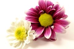 Two Flowers, Cozy, Close, Together Stock Photo