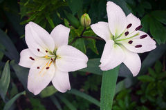 Two flowers of cream-colored white lily on a green stem Stock Images