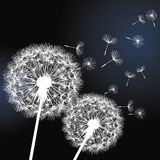 Two flowers dandelions on black background Stock Images