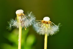 Two flowers of dandelions cease to blossom. Two flowers of white dandelions stop to blossom and are showered Stock Photo
