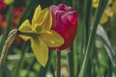 Two flowers drenched, yellow narcissus and a red tulip stock photography