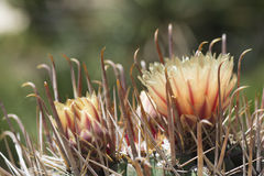 Two Flowers on a Ferocactus Wislizeni, Fishhook Barrel Cactus. Ferocactus wislizeni, fishhook barrel cactus in bloom, also known as Arizona barrels, candy barrel Stock Image