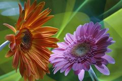 Two flowers of a gerbera and improvization by green light in a background royalty free stock photography