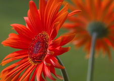 Two flowers of gerbera. Royalty Free Stock Photography