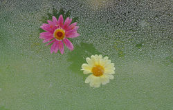 Two flowers. Two daisies on the glass with dew Stock Photography