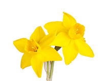 Two flowers of a jonquil cultivar isolated on white. Two flowers of a yellow jonquil cultivar isolated against a white background royalty free stock image