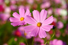 The two flowers of kelsang Stock Photography