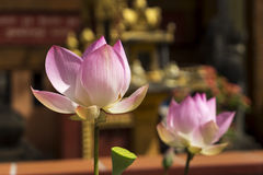 Two flowers of Lotus Royalty Free Stock Photo
