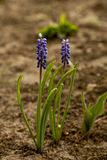 Two flowers of muscari  in spring. Two flowers of muscari in the garden in spring Stock Photography