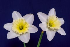 Two flowers of a narcissus in retro style Stock Photos