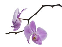 Two flowers of orchid, isolated phalaenopsis Royalty Free Stock Photos