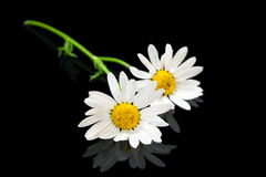 Two Flowers ox-eye daisy. Flowers ox-eye daisy on black glass background for celebratory card royalty free stock photo