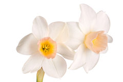Two flowers of a pink and white jonquil Stock Photos
